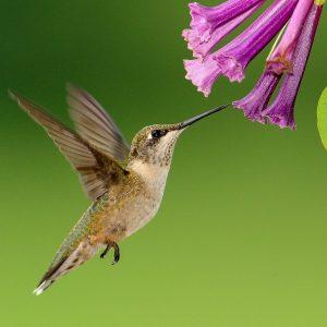 hummingbird-1056383_1280-e1559221287523.jpg